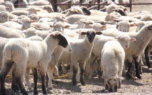 Howard Wyman Sheep Industry Leadership School
